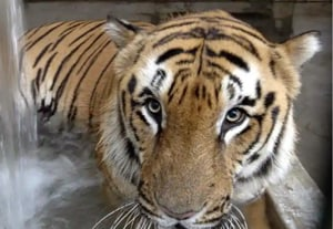 A male Royal Bengal Tiger has been found dead in the core area of Odisha's Satkosia Wildlife Sanctuary.