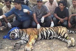 The injured tiger ST4 in Sariska forest range.