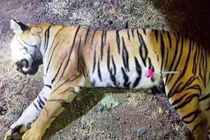 Avni was killed by hunter Asghar Ali Khan on November 2.