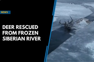Four hours and five vodka pegs save deer from frozen Siberian river