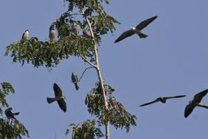 Photos: Amur falcon hunters turn protectors in Nagaland's Pangti