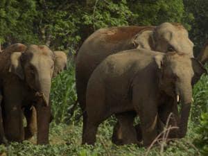 Ranchi, India - FILE PIX : Hird of wild elephant at Sonahatu in Ranchi. PHOTO FOR REPRESENTATIONAL PURPOSE