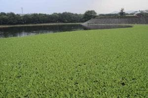 The Katraj lake is under thick cover of  water hyacinth indicating its high pollution level.