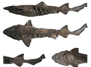 The Pygmy false catshark is currently known only from deep waters (200-1000m depth) and has a length of about 65cm.