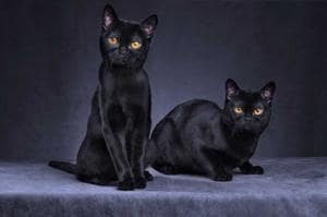 The cats are black, sleek, with a shiny wet-looking coat and coppery eyes.