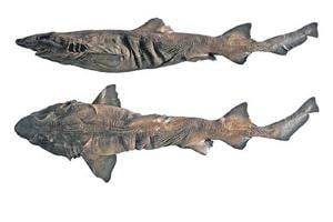 The Pygmy false catshark is about 65cm long and dark brown in colour without any prominent pattern.