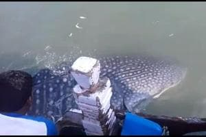 The dotted whale shark got entangled in the nets of fishermen off Vadrai coast in Palghar early on Tuesday morning. The fishermen worked carefully to disentangle the nets and released the fish into the sea.