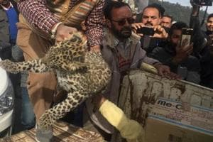 A veterinary doctor will examine the cub at Tuti Kandi and subsequently, it will be released in its natural habitat.