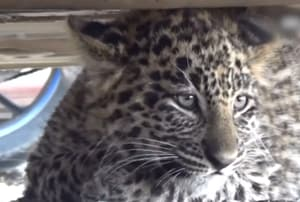 Leopard cub rescued from a Shimla court's parking lot