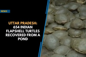 Uttar Pradesh: 654 Indian flapshell turtles recovered from a pond