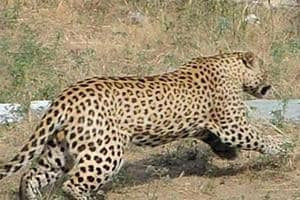 A male leopard was found dead in Sahara City's Aamby Valley early on Sunday.