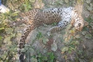 The carcass of the leopard cub found in UP's Katarniyaghat Wildlife Sanctuary on Saturday, December 1, 2018.