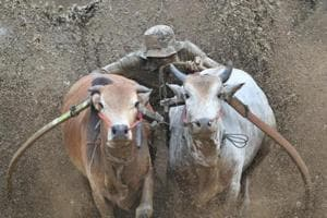 Photos | Holding on for dear life: Mud bull racing in Indonesia