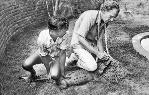 Reptile expert Romulus Whitaker measuring a crocodile at his crocodile enclosure in Madras (Chennai) in August 1977.