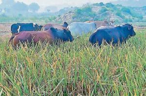 Stray cattle feeding on the crops in a field behind Bharatganj police outpost in Manda area of trans-Yamuna region of Prayagraj