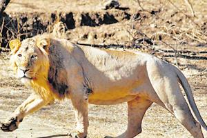 Three young lions were killed after being hit by a speeding freight train in Gujarat's Amreli district in the early hours of Tuesday.