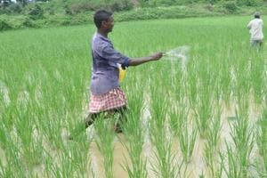 Farmers sprinkling fertilizers in paddy field at Topchanchi block in Dhanbad on August 28.