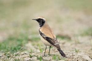 The solitary Desert Wheatear spotted at Newtown in the outskirts of Kolkata in 2013.