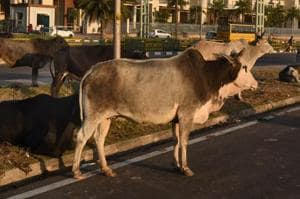 According to officials, ear tagging can effectively deal with the problem of rising stray cattle by identifying and punishing the owners of abandoned cattle.