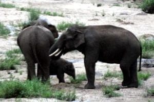 A herd of elephants rampaged through a village in Jharkhand's Gumla district on Monday, trampling a woman and her infant daughter to death. (File Photo)