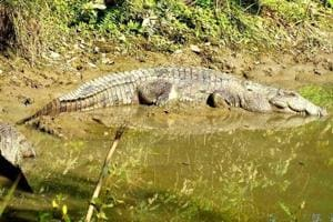 The last crocodile census in Uttarakhand carried out in 2008 by the forest department in Corbett found 123 crocodiles.