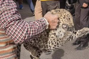 A leopard cub, who was dragged around by some unidentified locals in Kolyari village, some 150 kms from Nagpur in Gondia district of eastern Vidarbha, died on Tuesday morning. (Representational Image)