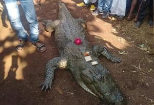 On Tuesday morning, the residents of Bawamohatra, a village in Bemetra district of Chhattisgarh, gathered near the community pond and started weeping after they saw that a crocodile, called Gangaram, had died. (HT Photo)