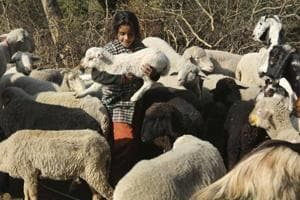 The Merino sheep will be brought from Australia to Delhi first and then transported to Uttarakhnd where it will be kept in Government Sheep Breeding Farm in Ghansali, Tehri.