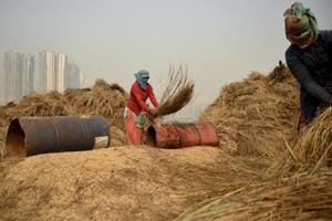 Farm workers in Noida thrash freshly harvested paddy crop to separate the grains.