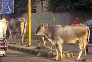 Stray cattle on a Alwar road.  The Rajasthan government will felicitate those wo adopt stray cows.
