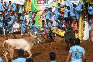 Jallikattu kicks off to a spirited start in TN, over 100 injured so far