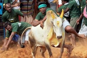 A villager attempts to control a bull during Jallikattu in Coimbatore.