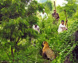 The last official tiger census in 2016 had found 202 individuals, but forest officials estimate the current population in Maharashtra to be between 240-250 tigers.