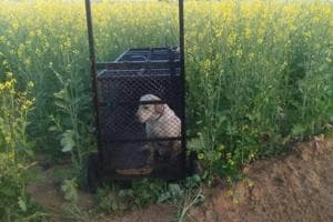 Officials have kept a dog in each cage as a bait in a partitioned portion of the trap to lure the big cat.