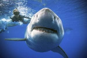 An enormous great white shark -- believed to be one of the biggest on record -- has been spotted off the coast of Hawaii.