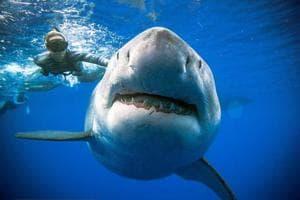 A shark said to be