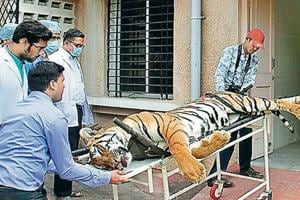 Avni was shot dead in Ralegaon taluka of Yavatmal district on November 2 by Asghar Ali Khan after a months-long search in which 200 hunters were deployed. The big cat was accused of killing 13 people and labelled a problem tigress.