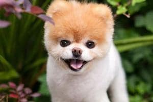 """Boo, the world's cutest dog, has died of a """"broken heart"""", his owners have confirmed."""