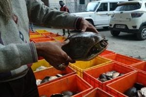 Turtles smuggled from Andhra Pradesh in a truck were kept in large crates and hidden under fish.