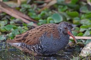 The water rail bird comes to Basai every winter.