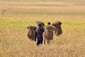 A farmer carries rice seedlings from a paddy field at Nimati village, some 300 kms from Guwahati.