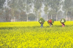 Mustard fields in Haryana. The fields of Punjab and Haryana are popular shooting locations for Bollywood films.