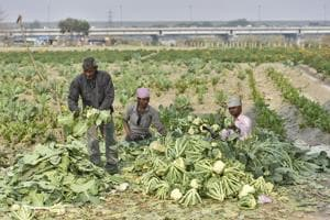 People working in their vegetable farm on the banks of river Yamuna near Geeta Colony flyover in New Delhi.
