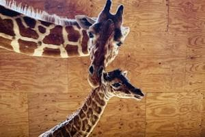 This photo provided by Animal Adventure Park shows April the Giraffe with her new male calf .