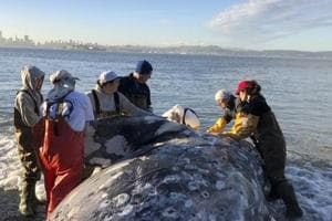 Whale dies from 'gastric shock' after eating 40 kg of plastic in Philippines