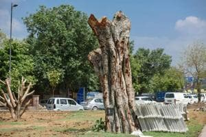 One of the two trees transplanted from Kashmere Gate to the forest department's land near Nigam Bodh Ghat, Delhi.