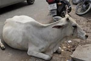 A group of locals stopped a pick-up truck for allegedly transporting two cows on Monday night and caught the driver and helper after a chase in Sohna, the police said on Tuesday.