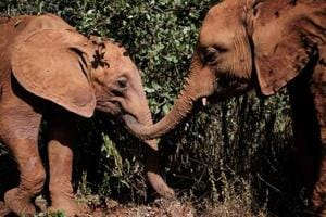 Photos:Baby elephants find a new life, and love at Kenyan orphanage