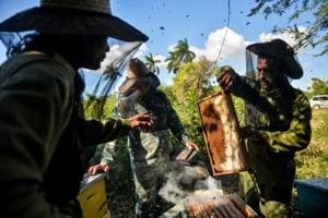 Photos: Cuba's worker bees boost thriving honey business