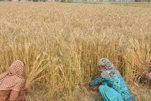 Concerns over storage space in Punjab after good wheat harvest